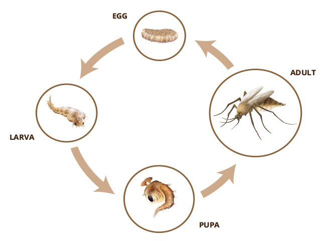 an analysis of the four distinct stages in the life cycle of a mosquito The different stages of human life are fetus, infancy, childhood, adolescence, adulthood and old age the human life cycle starts at fertilization, goes through the embryonic stage and the fetal stage.